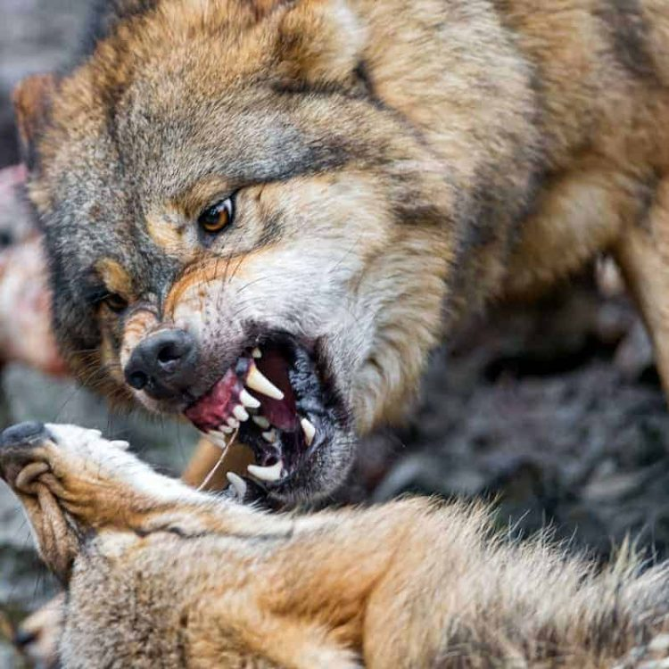 The History of Canine Dominance Theory