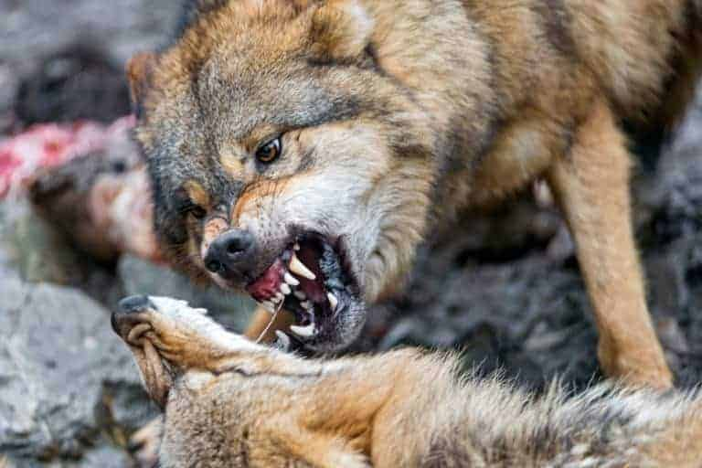 Read more about the article The History of Canine Dominance Theory