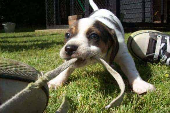 A puppy playing tug of war