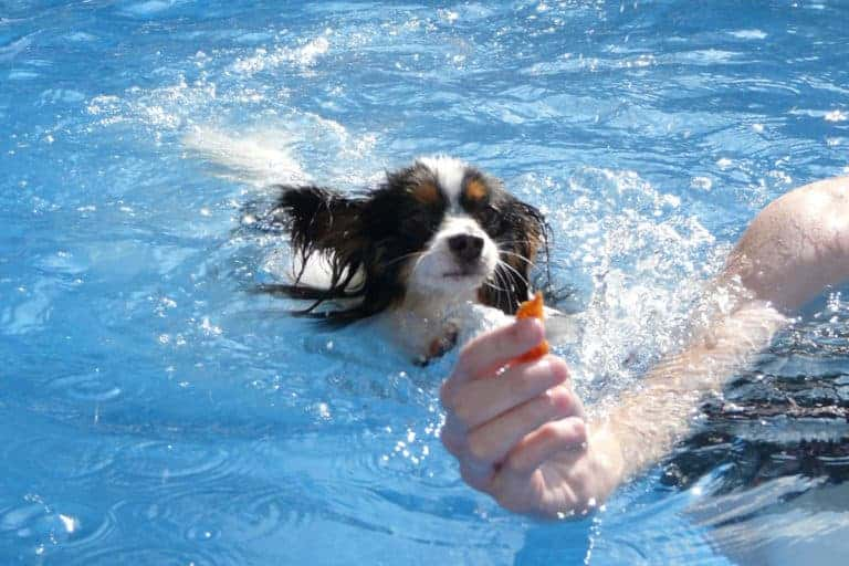 Teaching Your Dog How to Swim