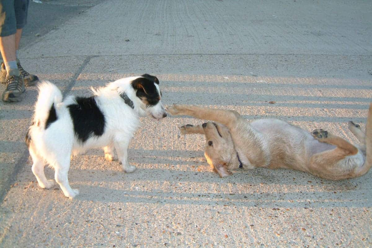 A puppy playing with a terrier