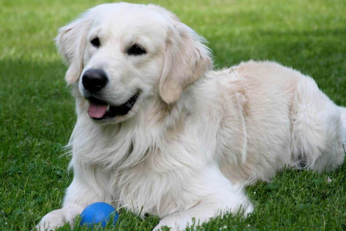 A retriever with a ball