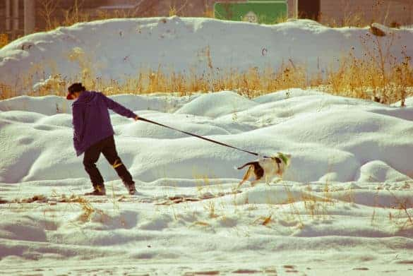 A man and a dog vie for choice of route on a winter morning walk
