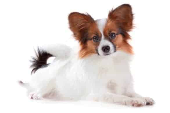 A Papillon puppy on a white background