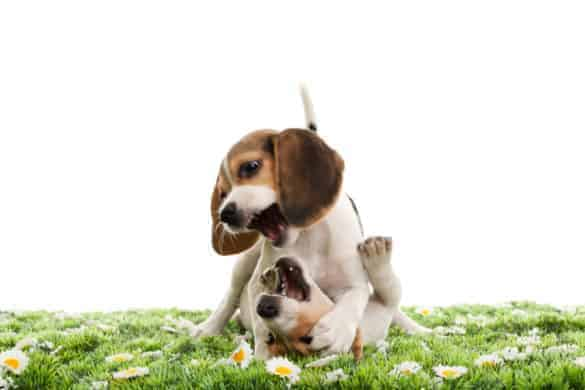 a pair of puppies play fighting on a daffodil lawn