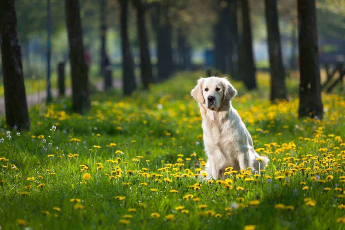 Read more about the article Dog Training: Teaching a Solid 'Stay'