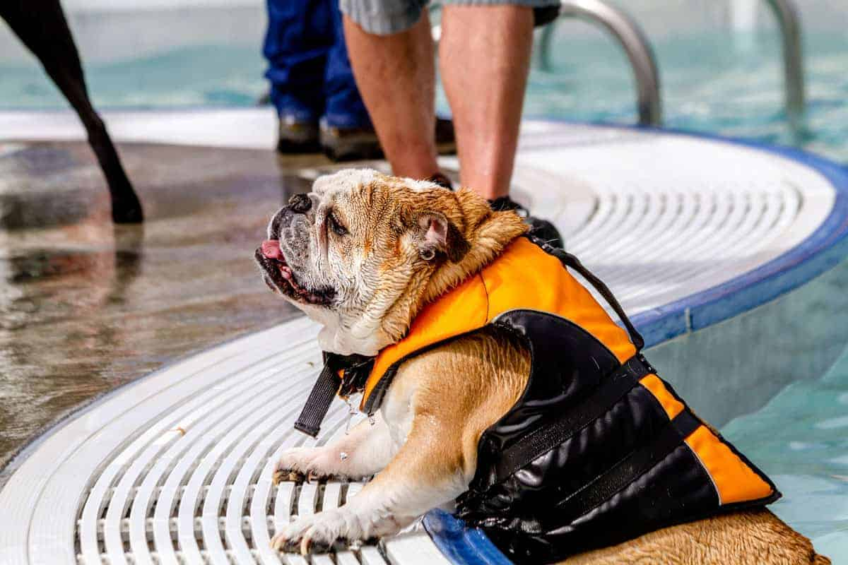 Bulldog swimming lesson
