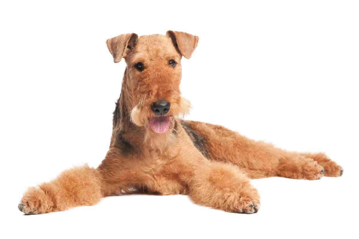 A reddish tan Airedale Terrier with a black saddle