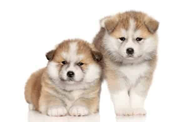 A pair of Akita puppies