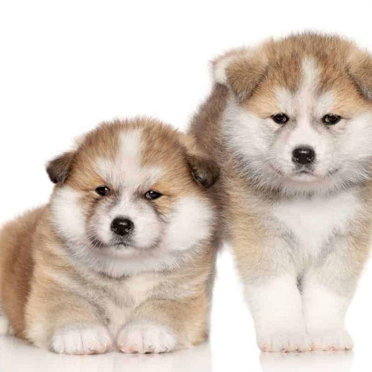 A pair of Akita puppies