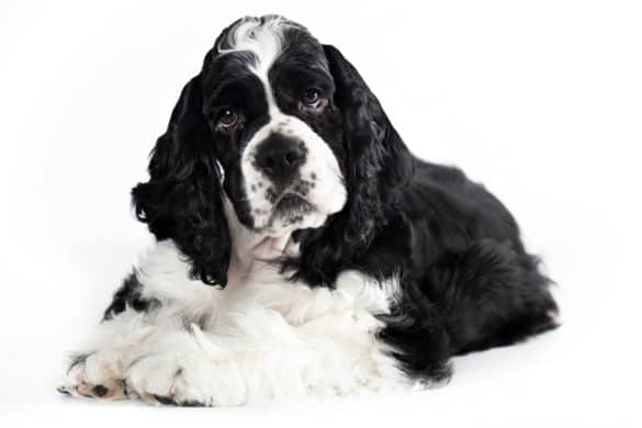An American Cocker Spaniel