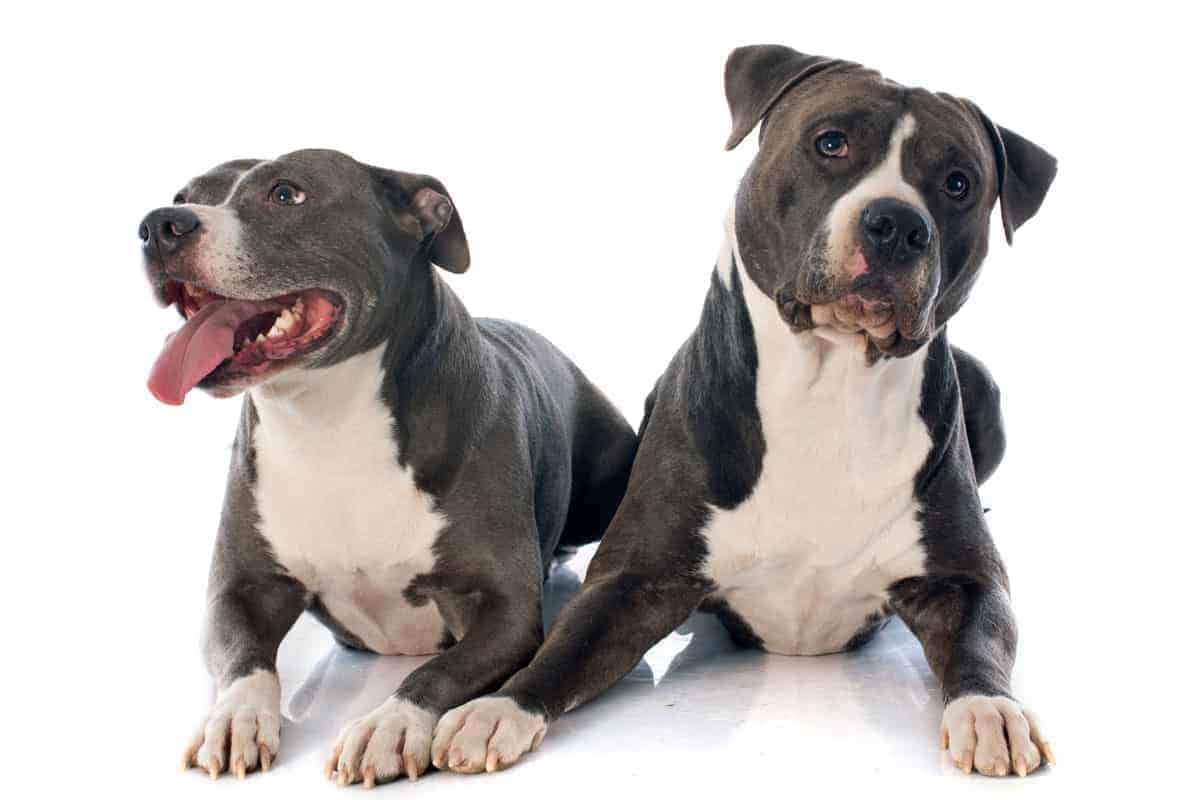 A pair of black and white American Staffordshire Terrier puppies