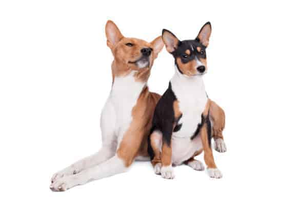 A pair of Basenji puppies
