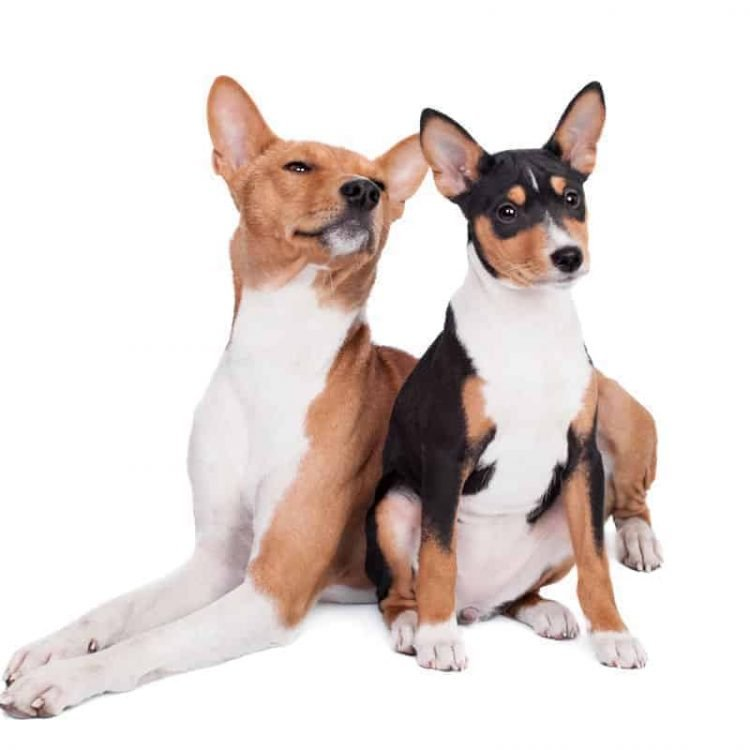 A pair of Basenji puppies