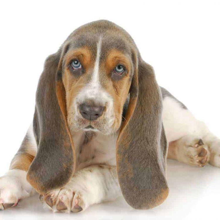 A Basset Hound puppy