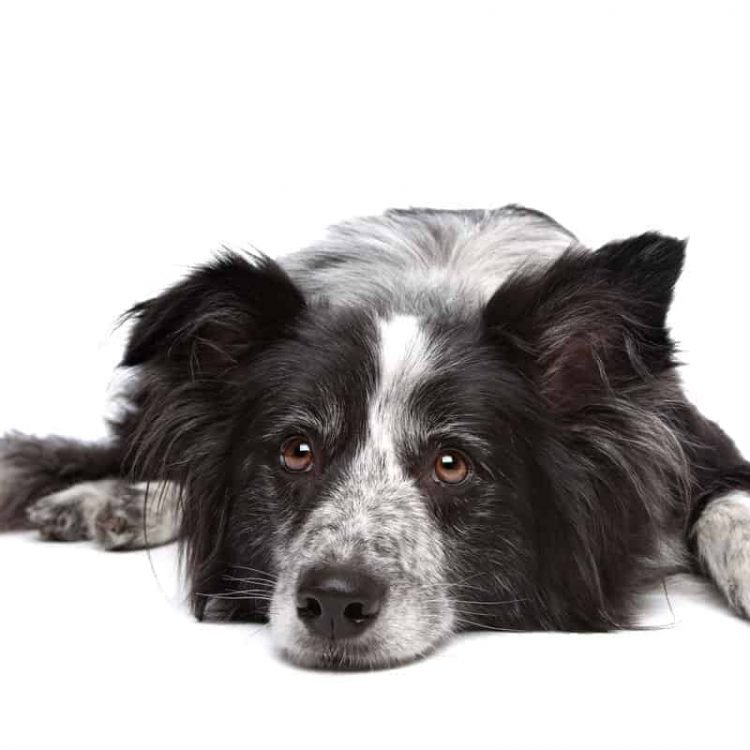 A black and white Border Collie