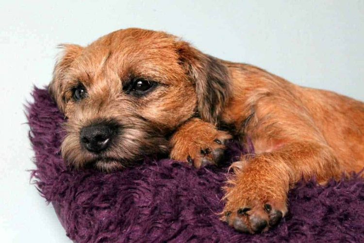 A Border Terrier looking bored