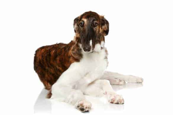 A poised Borzoi
