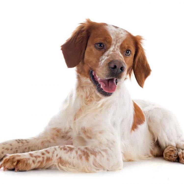 A white and orange Brittany puppy