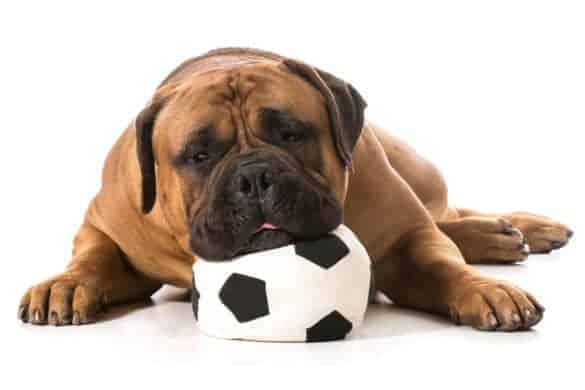 A Bullmastiff puppy slouching on a ball