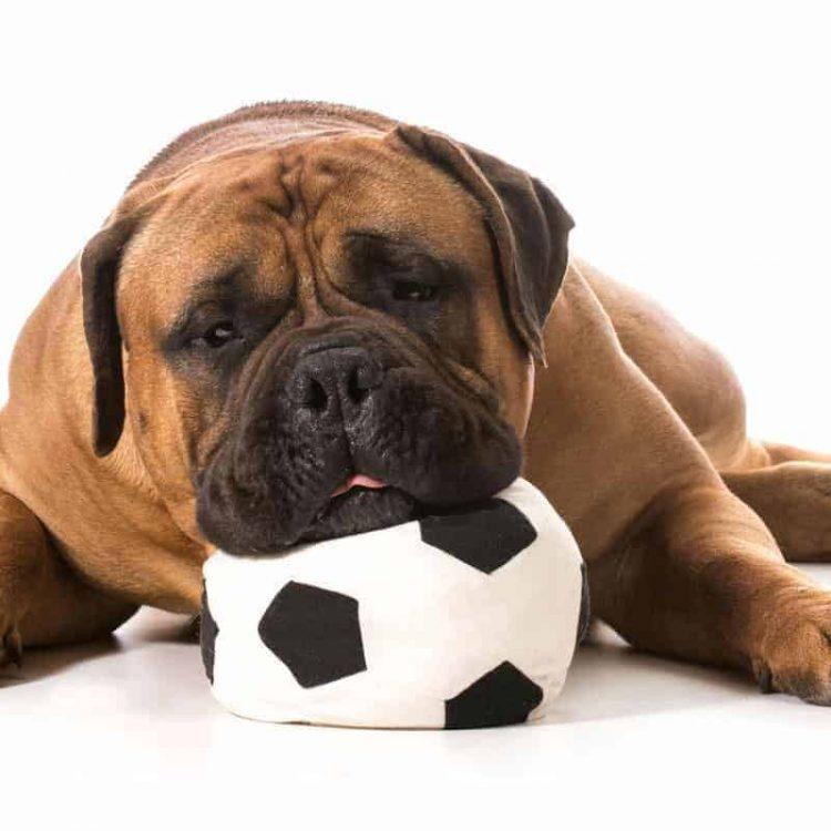 A Bullmastiff puppy slouching on a ball