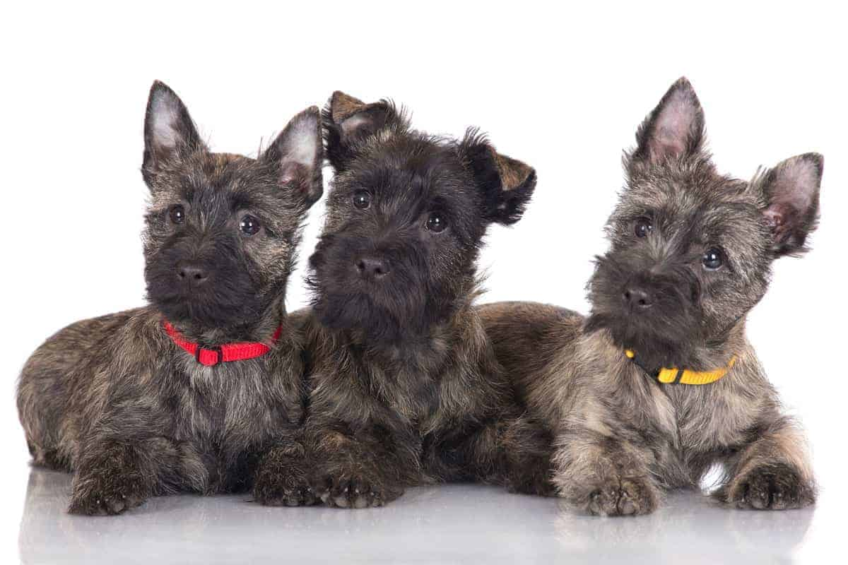 3 Cairn Terrier pups with coloured collars