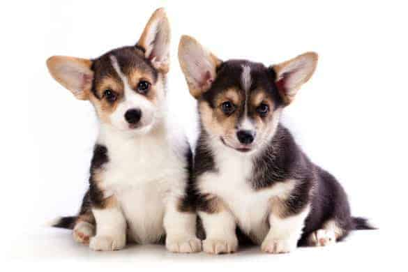 A pair of tricolour Cardigan Welsh Corgi puppies