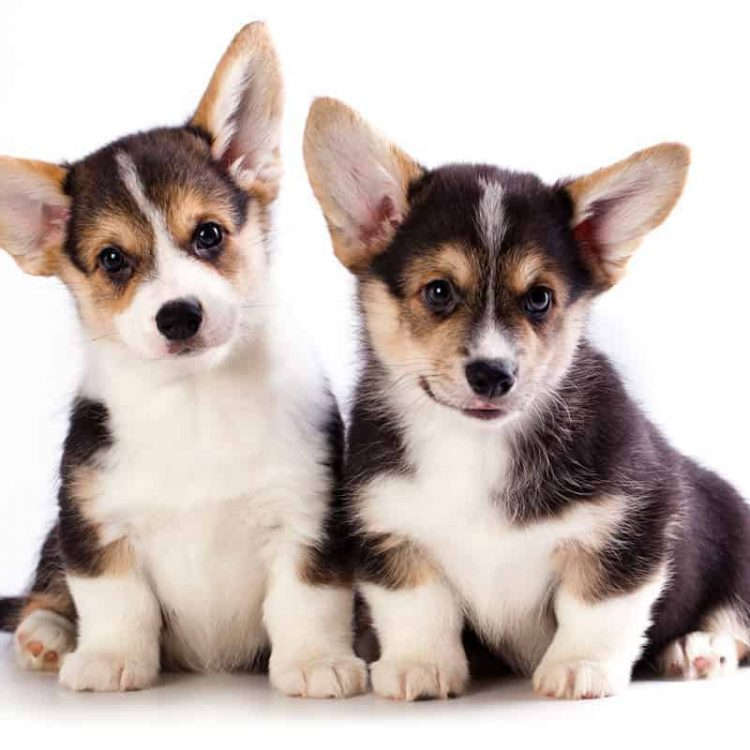 A pair of tricolour Cardigan Welsh Corgi puppies