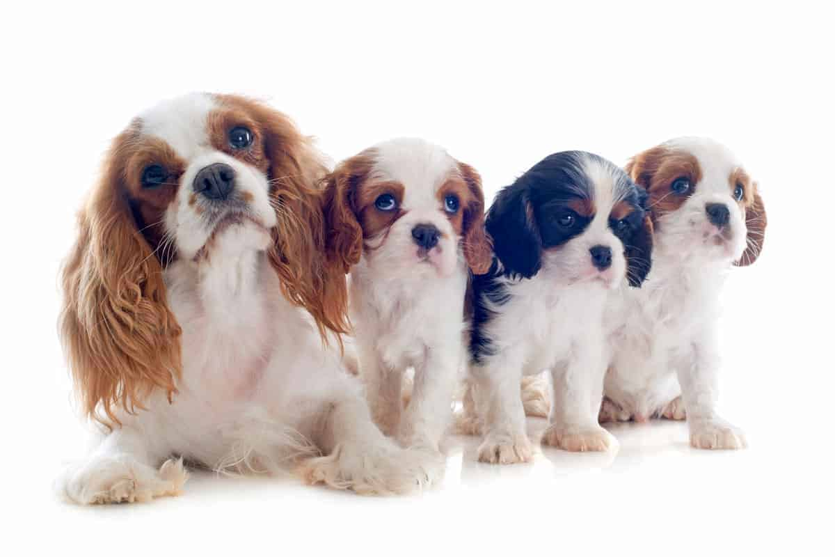 a group of 4 Cavalier King Charles Spaniels
