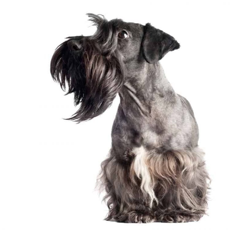 A grey Cesky Terrier