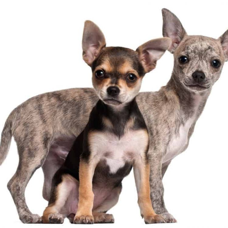 A pair of Chihuahua puppies