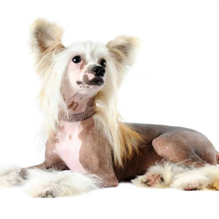 A hairless Chinese Crested Dog