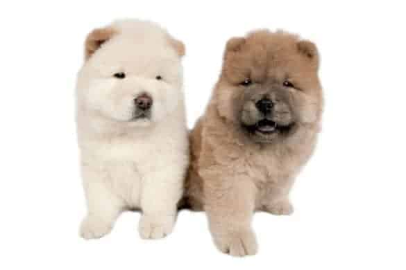 A pair of Chow Chow puppies