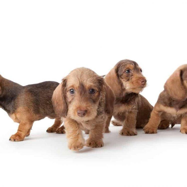 4 Dachshund puppies