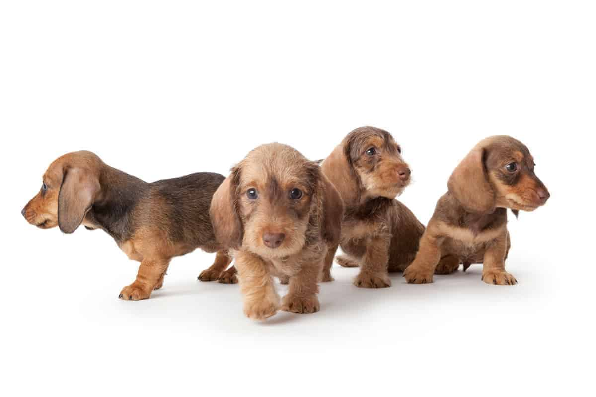4 Dachshund puppies