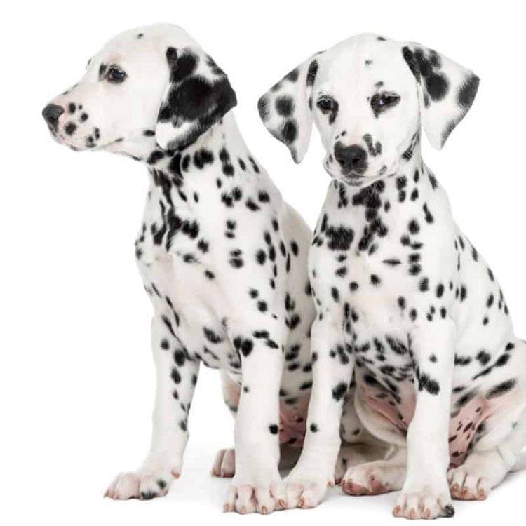 A pair of Dalmatian puppies