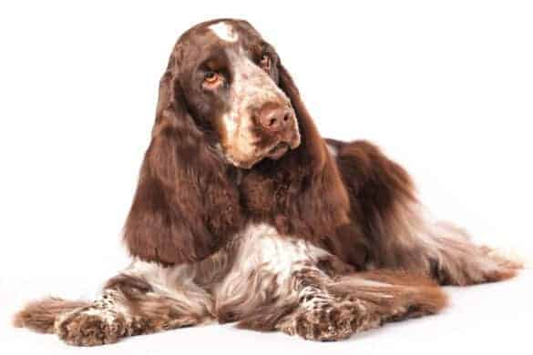 A liver and tan coloured English Cocker Spaniel