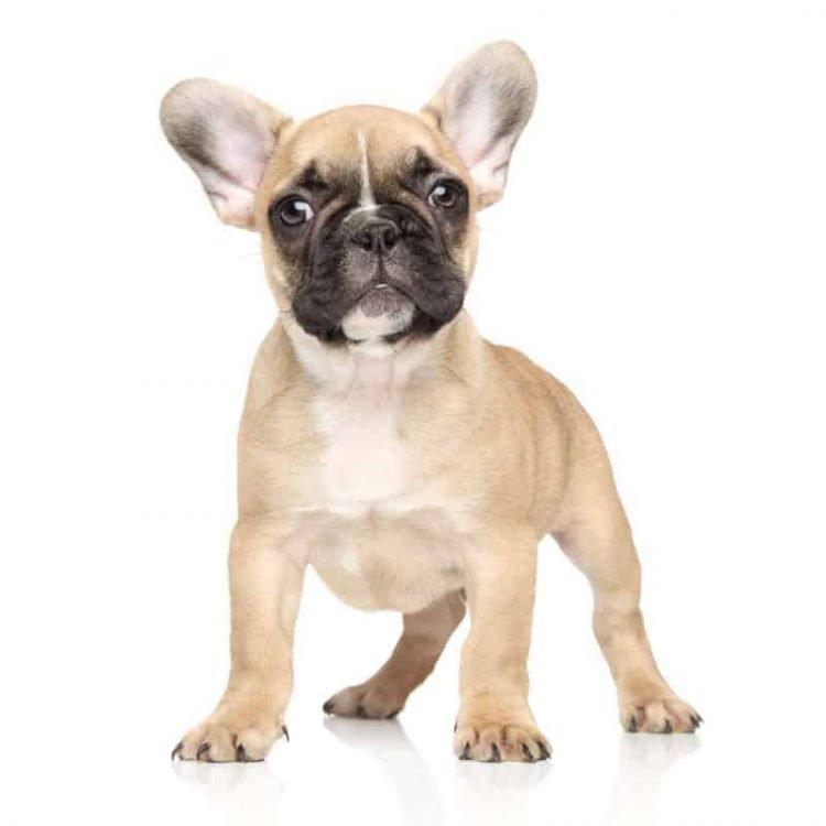 A curious French Bulldog puppy