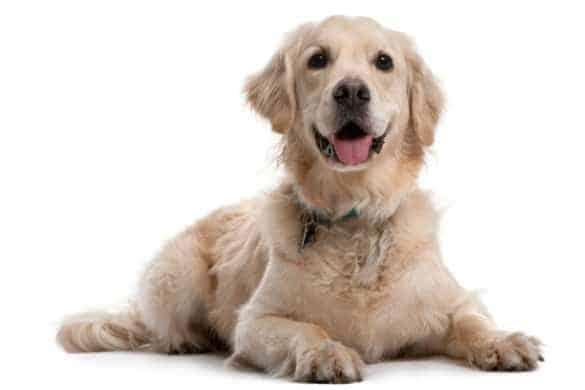 A curious Golden Retriever puppy