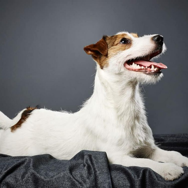 A white and tan Jack Russell Terrier