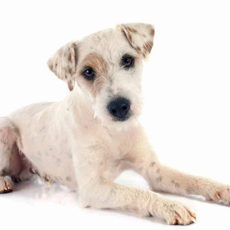 A white Parson Russell Terrier puppy with a patch over his right eye