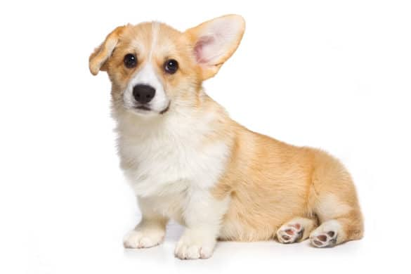A Pembroke Welsh Corgi Puppy with drooped right ear