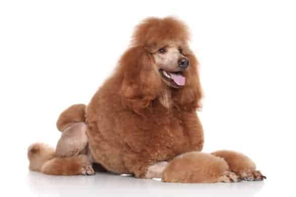 A brown Standard Poodle