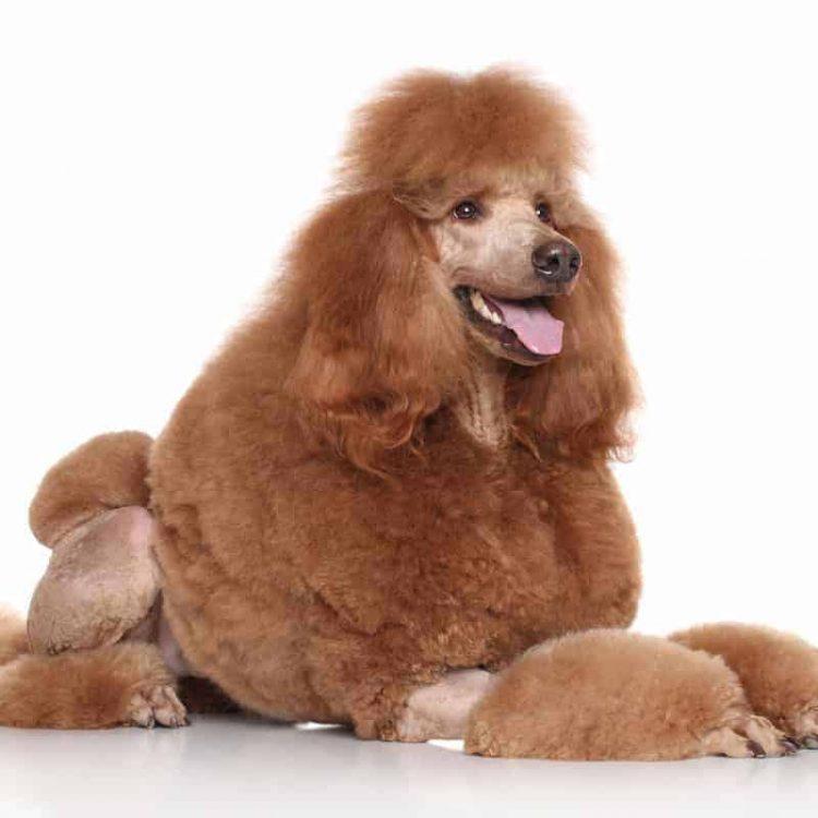 A brown Standard Poodle
