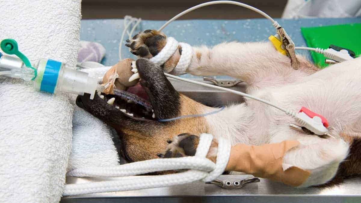 Anaesthesia and your Dog