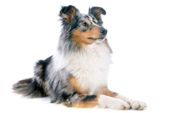 A smart tri-colour Shetland Sheepdog