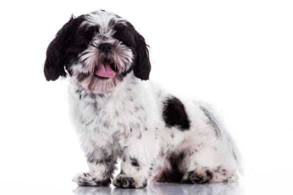 A white Shih Tzu with a black patch