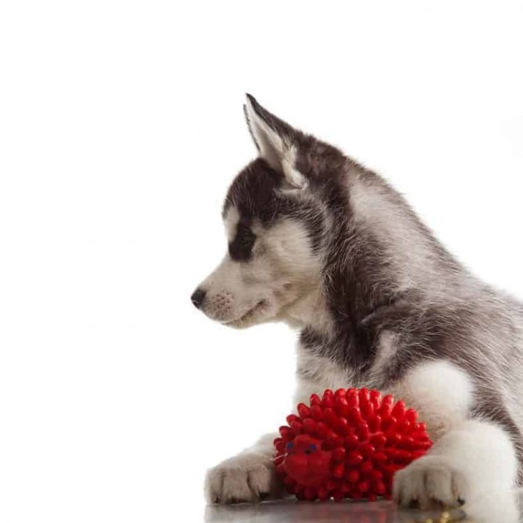 A Siberian Husky puppy with a toy