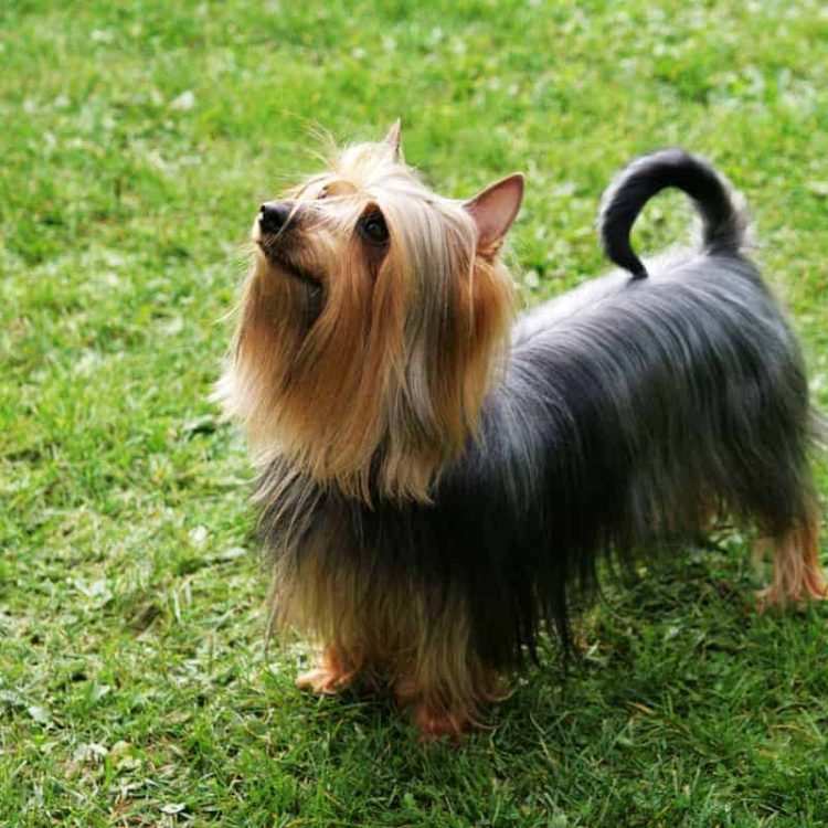 An Australian Silky Terrier