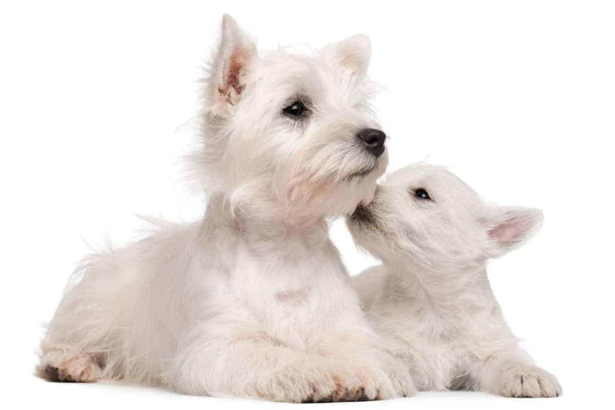 An inquinsitive West Highland White Terrier investigating an older pup.